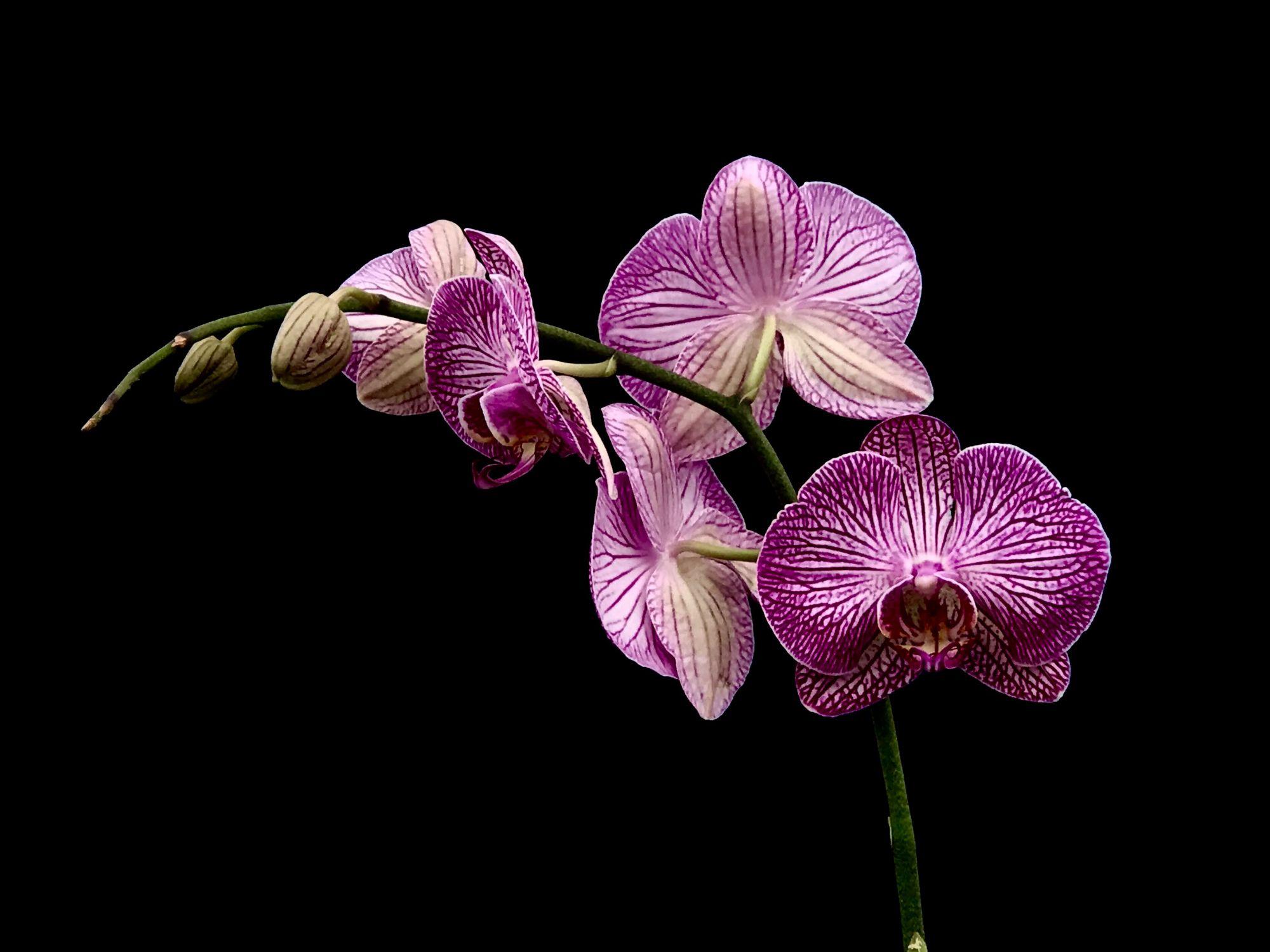 Orchidées Violette